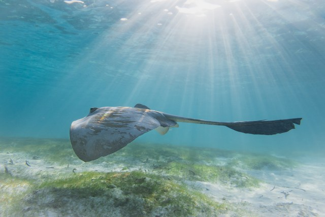 Ray in Maldives Seagrass medow