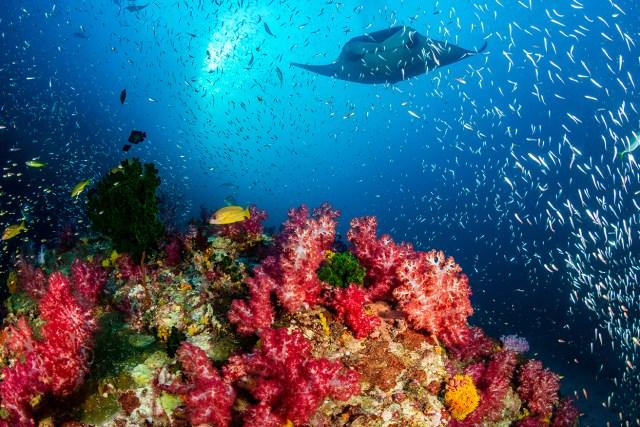 a manta ray scuba diving in maldives