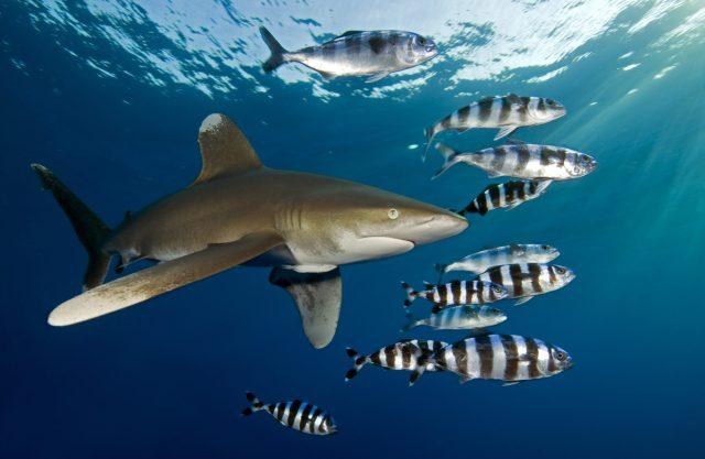 Oceanic Whitetip Shark spotted while diving in Marsa Alam, Egypt