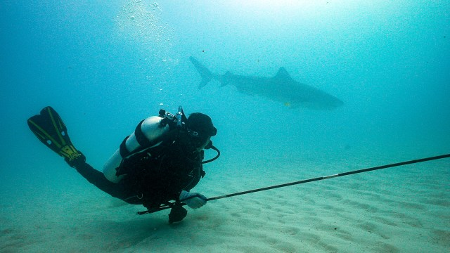 A scientist takes a biopsy from a tiger shark