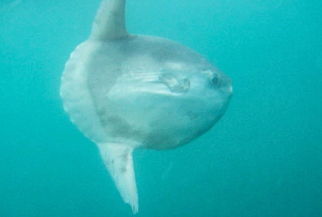 A sunfish, or mola mola, swimming just beneath the surface in West Wales