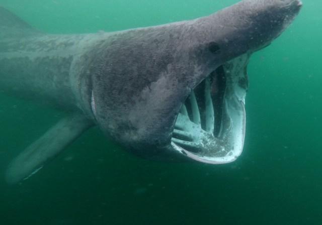 basking shark in scotland