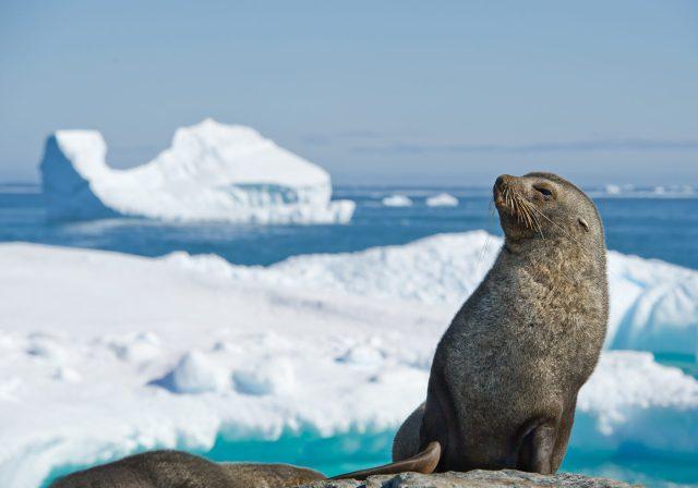 cold water marine life antarctic fur seal