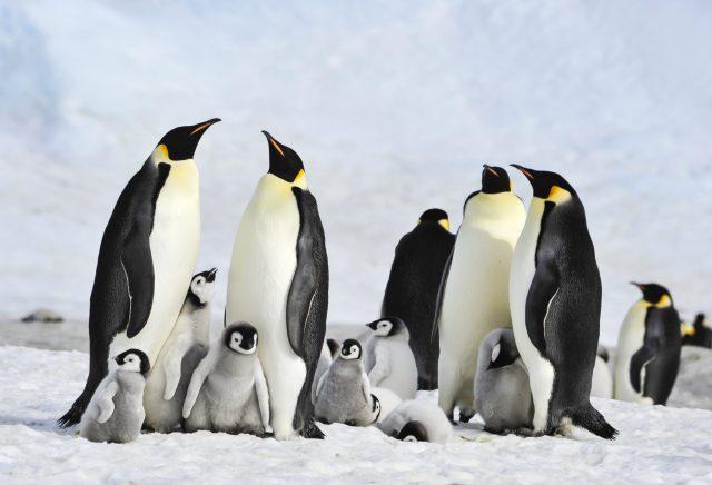 cold water marine life emperor penguins