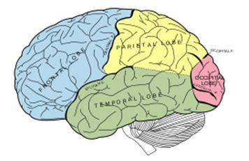 The Four Lobes of the Human Brain