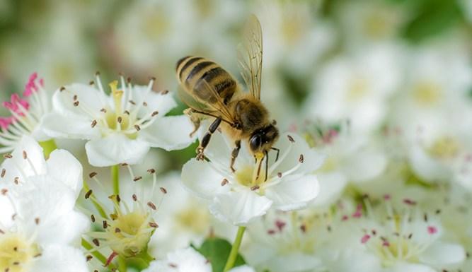 Wesp op witte bloem