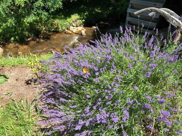 Lavender garden by the river