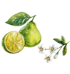 Bergamot fruit and plant (Citrus bergamia)