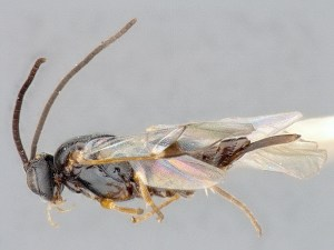image-2-dolichogenidea-cacoeciae