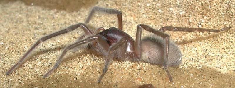 Female Desis bobmarleyi