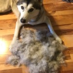 Rajah is certainly a shedding dog