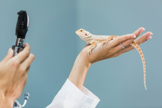 female veterinarian specializing in reptiles, examining a bearded dragon, resting in the palm of her hand