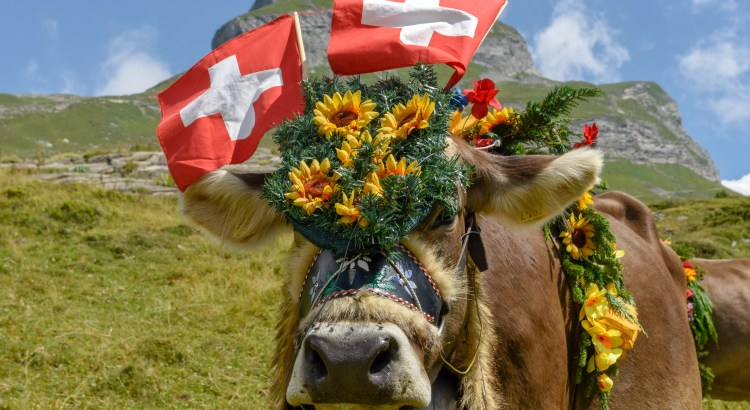 image of a swiss cow
