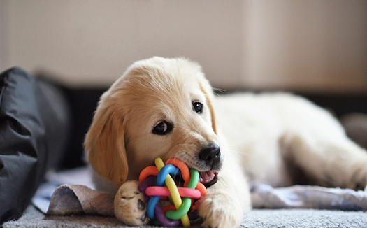 Puppy chewing chew toy
