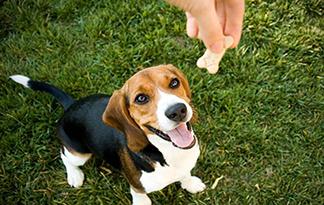 Beagle with treat