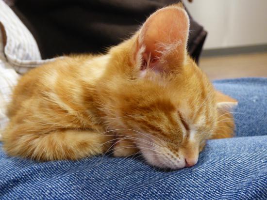 Cat sleeping on lap