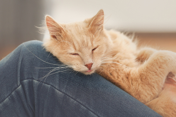 Cats love you - cat taking a nap on owners lap.