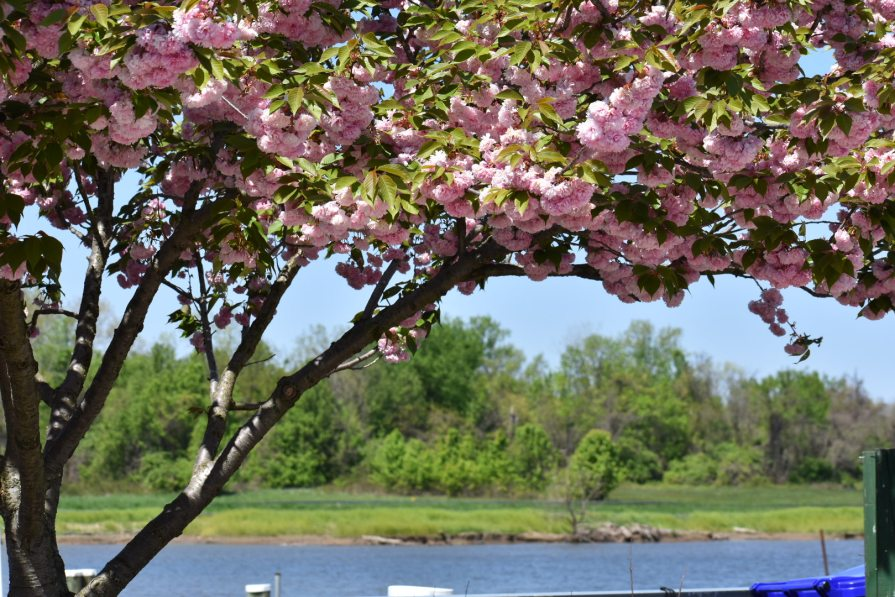 Cherry Blossoms at Bladensburg Waterfront Park
