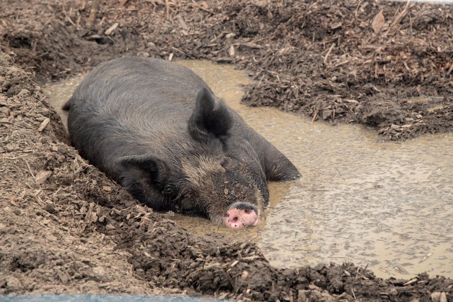 Pig at Cabin Creek Heritage Farm