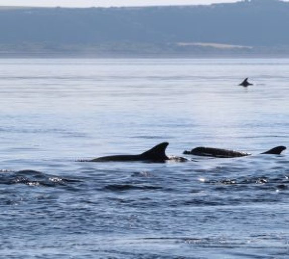 Dolphins swimmin porpoisefully at Chanonry Point