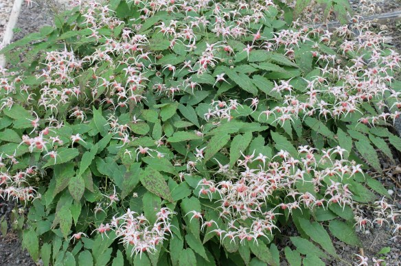 Epimedium Pink Champagne clump in flower9