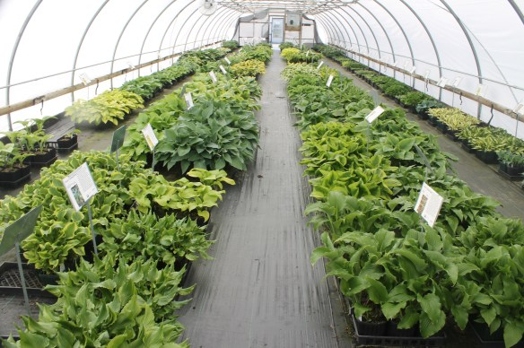 Hosta greenhouse at PDN 042014