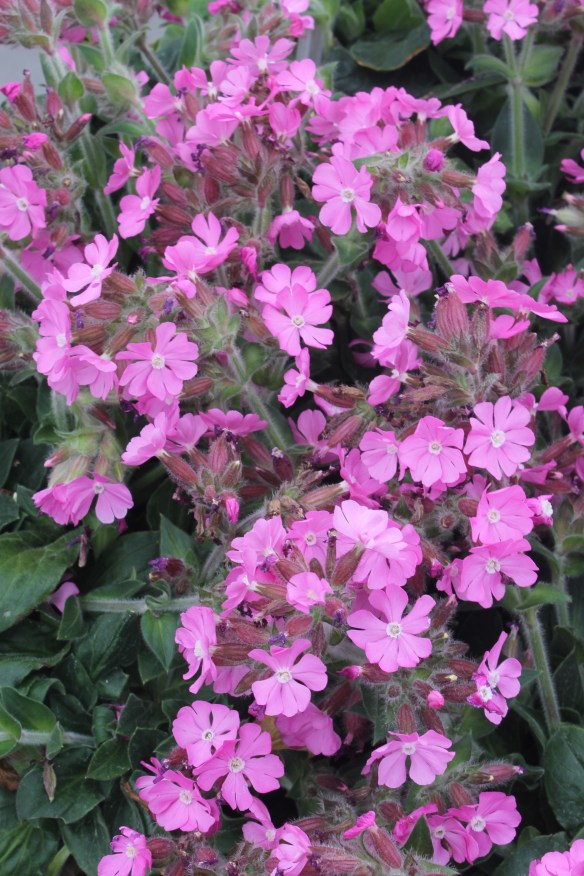 Lychnis Rolly's Favorite8