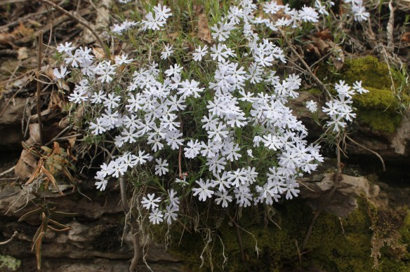 Phlox bifida at stop 13 AR2