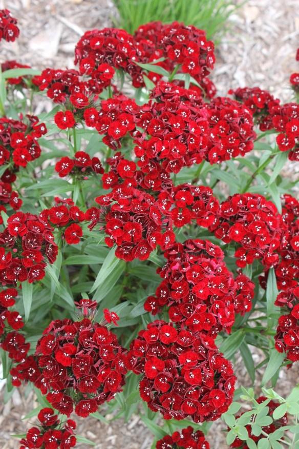 Dianthus barbatus Heart Attack4