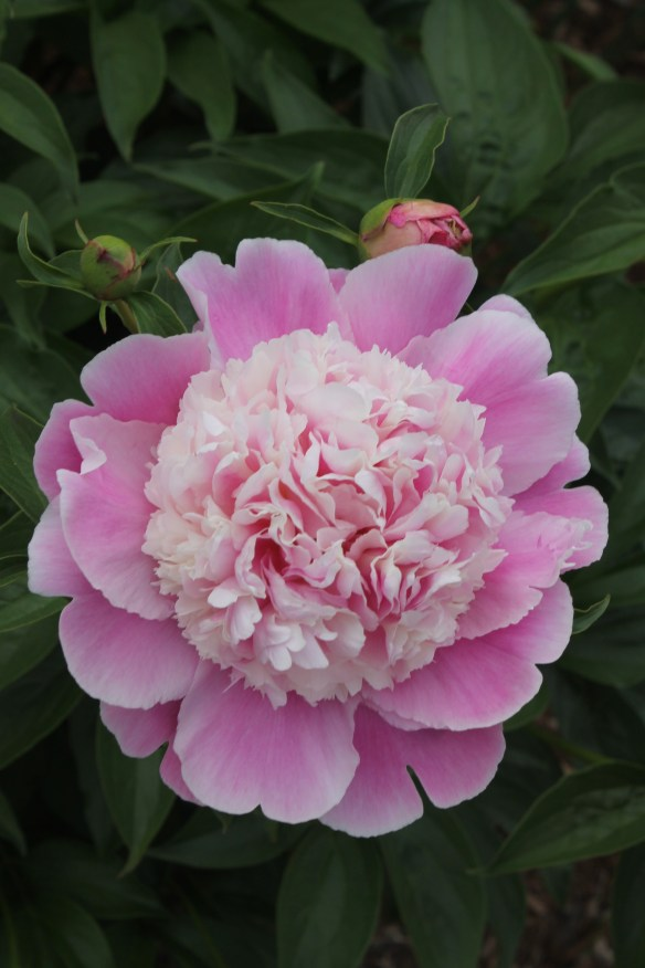 Paeonia Coral Stubbs single flower7