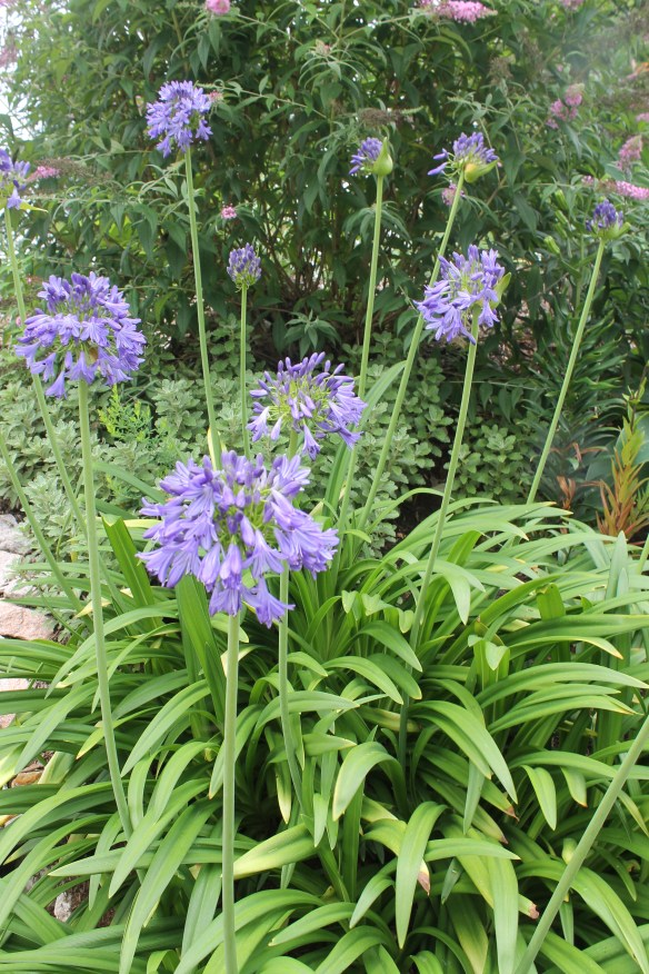 Agapanthus Ellamae clump in flower