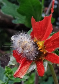 Caterpillar on JLBG Dahlia June 2014