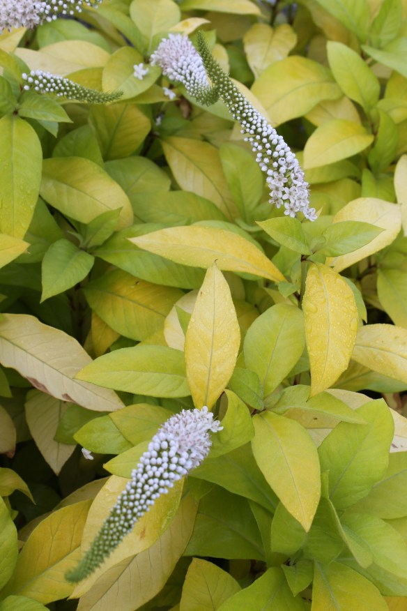 Lysimachia clethroides Heronswood Gold in flower closeup