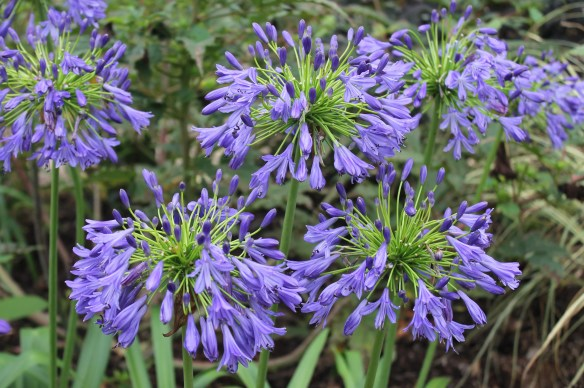 Agapanthus Stevie's Wonder mass in flower2