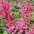 Astilbe 'Mighty Red Quin'