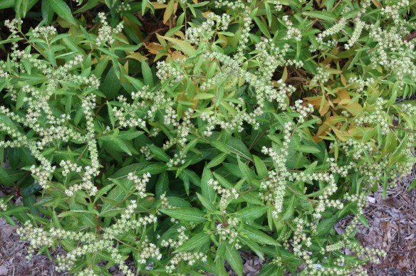 Penthorum sedioides 2AL13-003 in flower