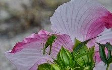 Grasshopper on Hibiscus 'Turn of the Century'