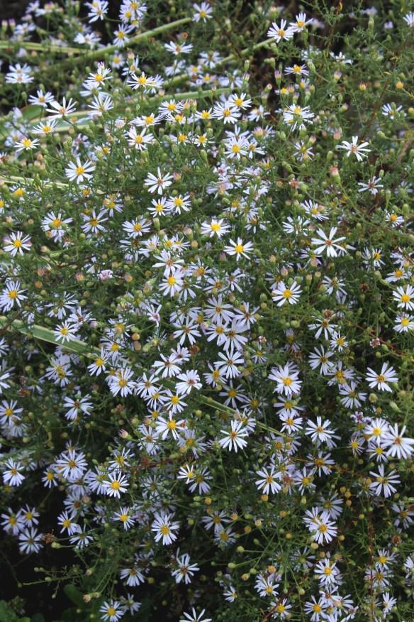 Aster pilosus Bama Superstar in flower2