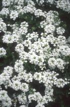 Verbena canadensis 'Snowflurry'