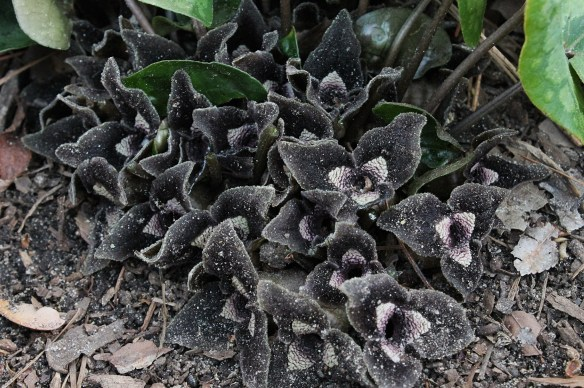 Asarum inflatum Shanghai in flower2.cc