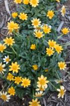 Ranunculus ficaria 'Orange You Cute'