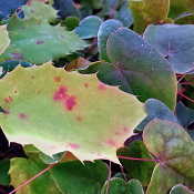 Epimedium leaves at JLBG