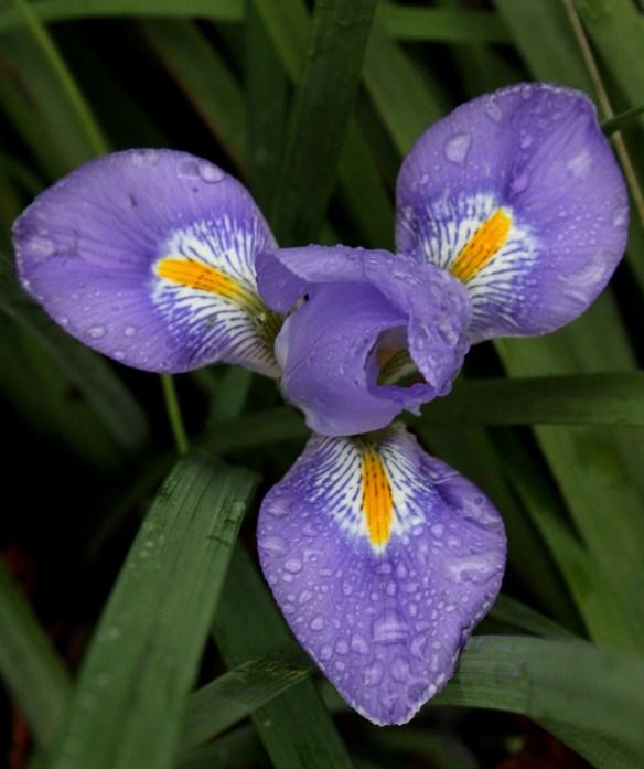 Iris unguicularis Logan Calhoun5
