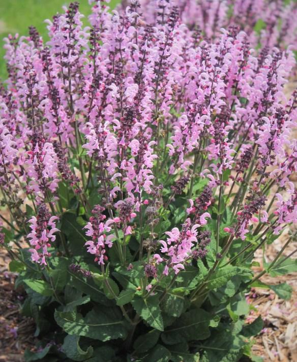 Salvia x sylvestris Pink Dawn at Walters (63942).cc