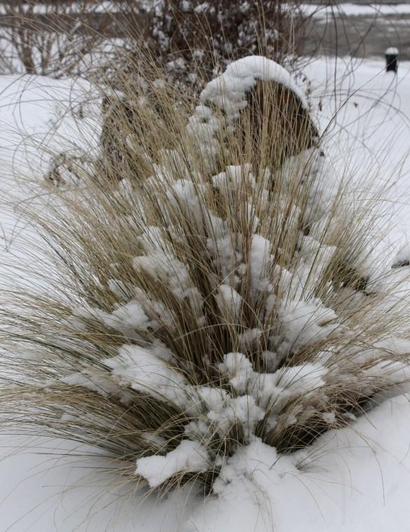Nasella tenuissima in snow