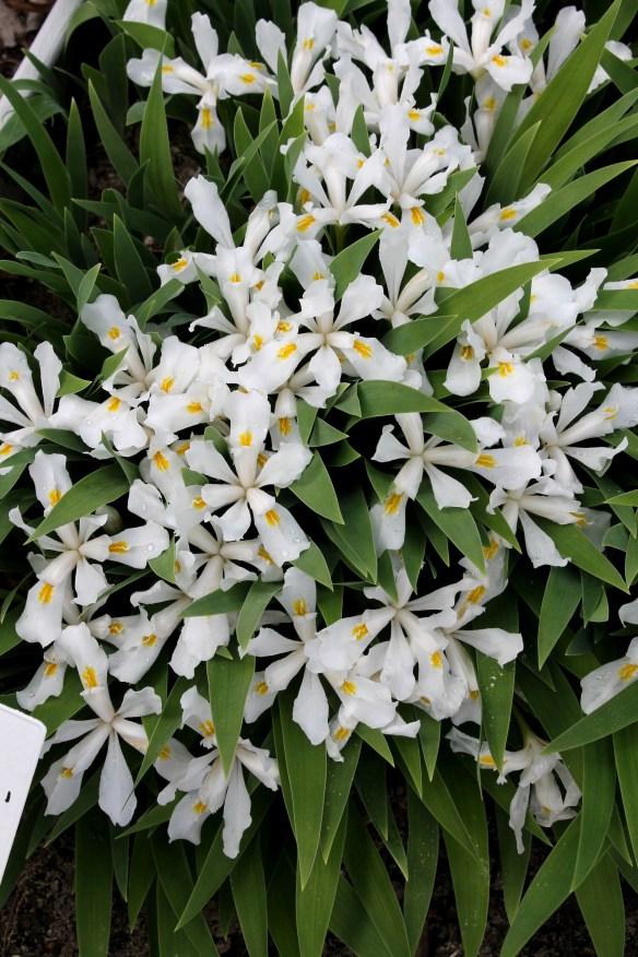 Iris cristata Montrose White
