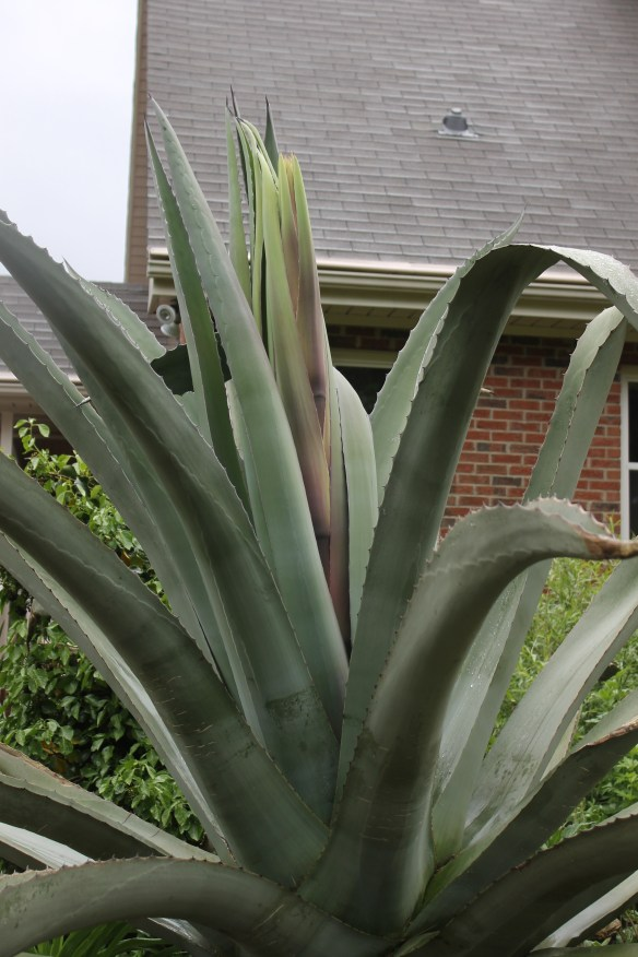 Agave Grey Gater spike starting