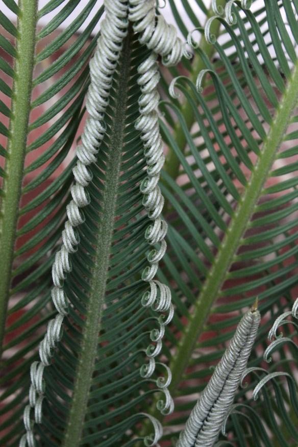 Cycas taitungensis unfurling2