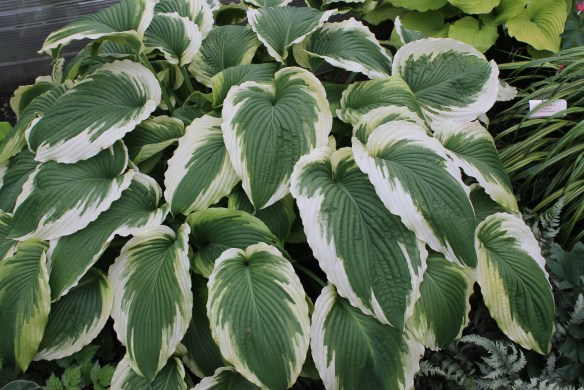 Hosta Bridal Falls at Walters3