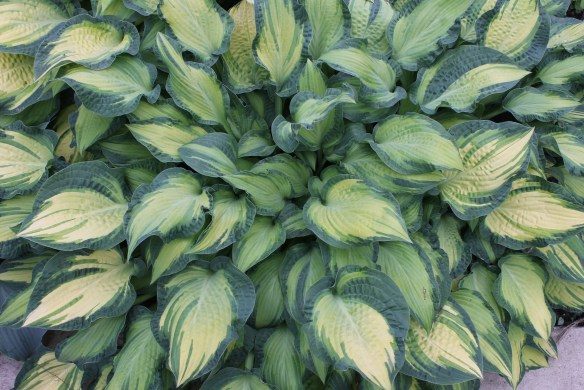 Hosta Happy Dayz at Walters3